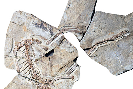 Anchiornis - A fossil of a primitive feathered dinosaur uncovered in China (above) is helping create a better model of how dinosaurs evolved into modern birds, experts said in January 2009.